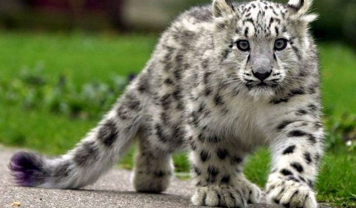 Поможем снежному барсу! Фонд дикой природы проводит сбор средств для борьбы с браконьерами в Тыве